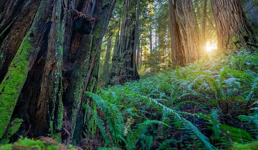 360 VR Panorama Redwoods